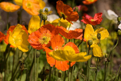 Orange and Yellow Symphony of California Poppies