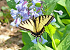 Eastern Tiger Swallowtail on Virginia Bluebells