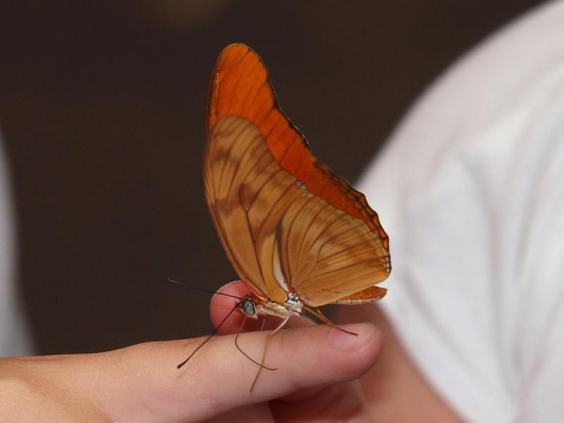 Julia Longwing (female) at Butterfly Jungle - 11 Apr 2010