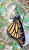 Monarch, just hatched.