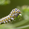 Black Swallowtail Caterpillar - Oak Openings Metropark - September 6, 2010