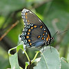 A Red Spotted Purple Butterfly (Limenitis arthemis) with folded wings. Quite beautiful.