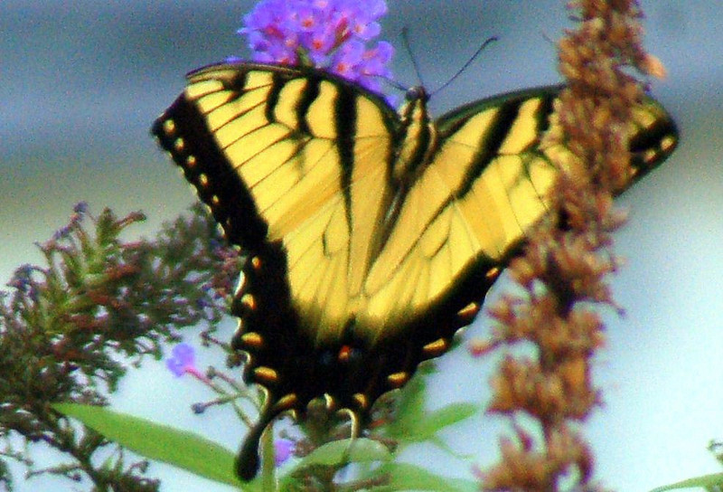 Backyard Butterfly 7-08-4