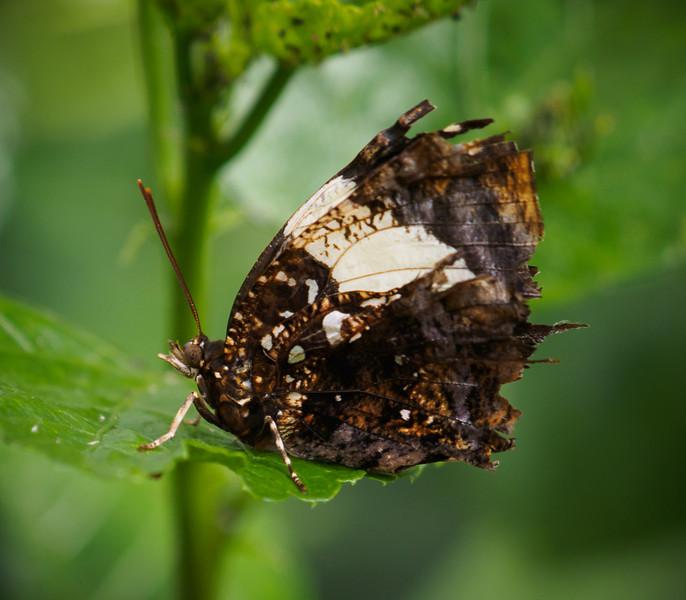 Silver Studded Leafwing - Butterfly Wonderland - 28 Mar 2014