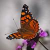West Coast Lady in the back yard - 23 Apr 2011