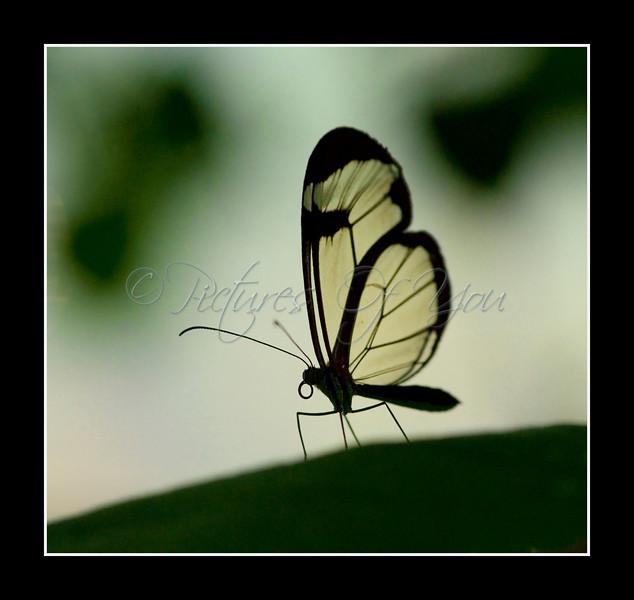 Glasswing Butterfly (Greta oto)