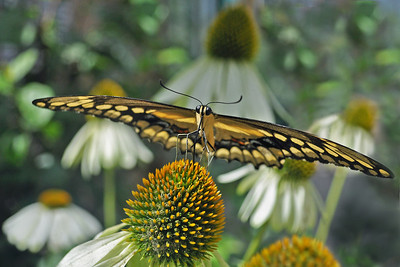 I sat eye to eye with a butterfly, sipping the nectar of the gods ...  Pale Swallowtail on a Corn Flower