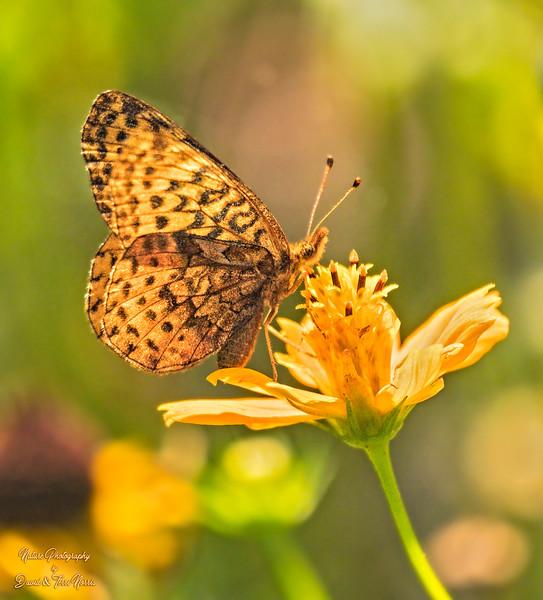 meadow fritillary_TN26468