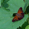 Tawny Emperor - Oak Openings - July 4, 2012