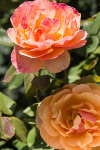 Pink and orange roses in the garden.