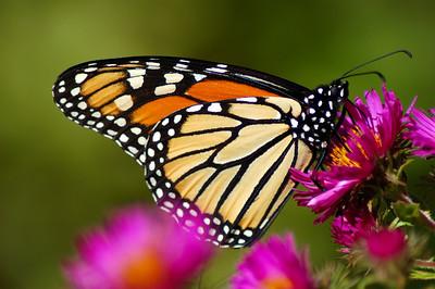 Butterflies_2006-10-08_29