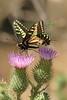 Swallowtail0138