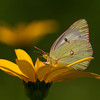 Clouded Sulphur - Oak Openings - July 7, 2012