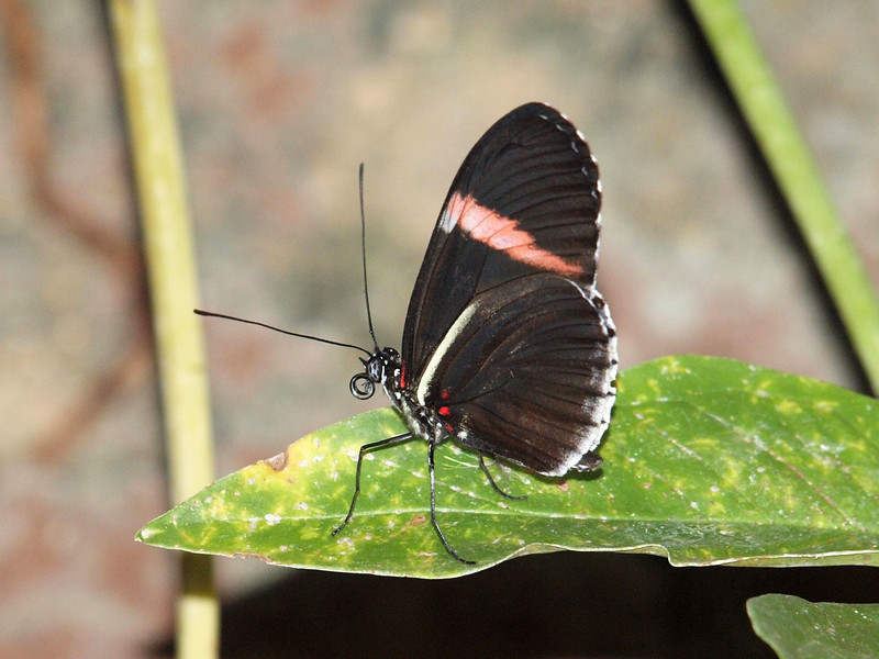 Red Postman (H. Melpomene) at Butterfly Jungle - 11 Apr 2010