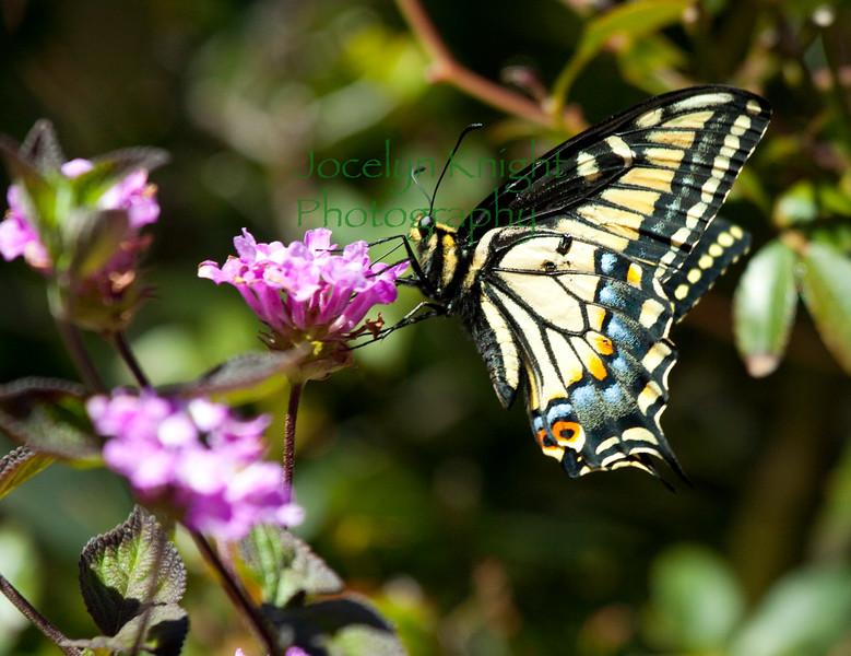 Swlowtail9287(12)