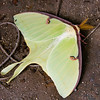 Luna Moth, Actias luna. Found across eastern North America, the Luna Moth (left) is in the Saturniidae, the family that includes Giant Silkworm Moths