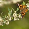 Painted Lady - Magee Marsh - May 3, 2012