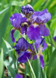 Purple Iris Majesty.