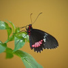 Red Spotted Swallowtail - Boston Butterfly Garden - 30 Mar 2011