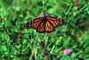 Monarch Butterfly - Daneus plexippus