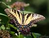 20130817_Butterflies_166