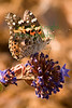 PaintedLady3112(8x12web)