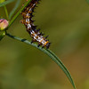 Buckeye caterpillar - August 26, 2012
