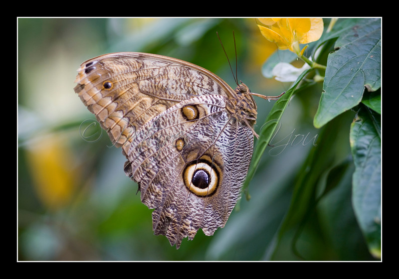 Owl Butterfly (Caligo Idomenius)