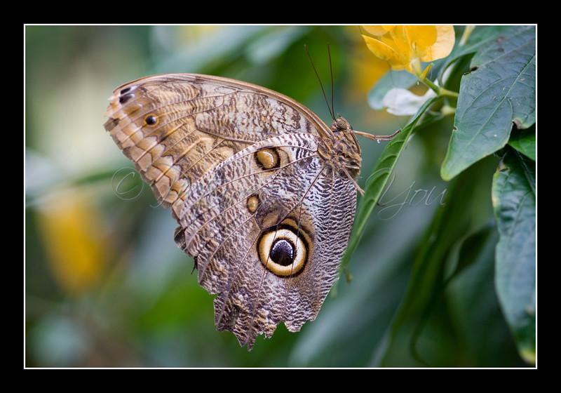 Owl Butterfly (Caligo Idomenius)