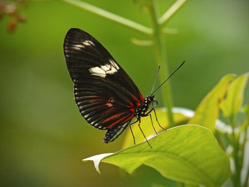 Doris Longwing at Boston Butterfly Garden - 30 Mar 2011