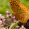 Fritillary on Milkweed - July 2008