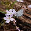 Spring Azure on Spring Beauty - April 2010