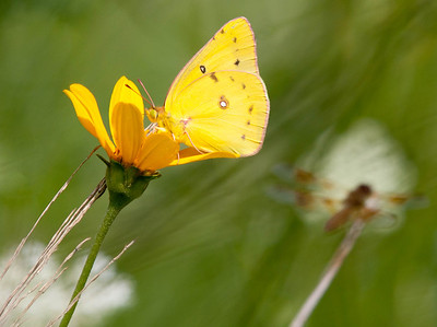 Orange Sulphur  08 06 10  003 - Edit