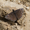 Sleepy Duskywing - Oak Openings - May 4, 2013