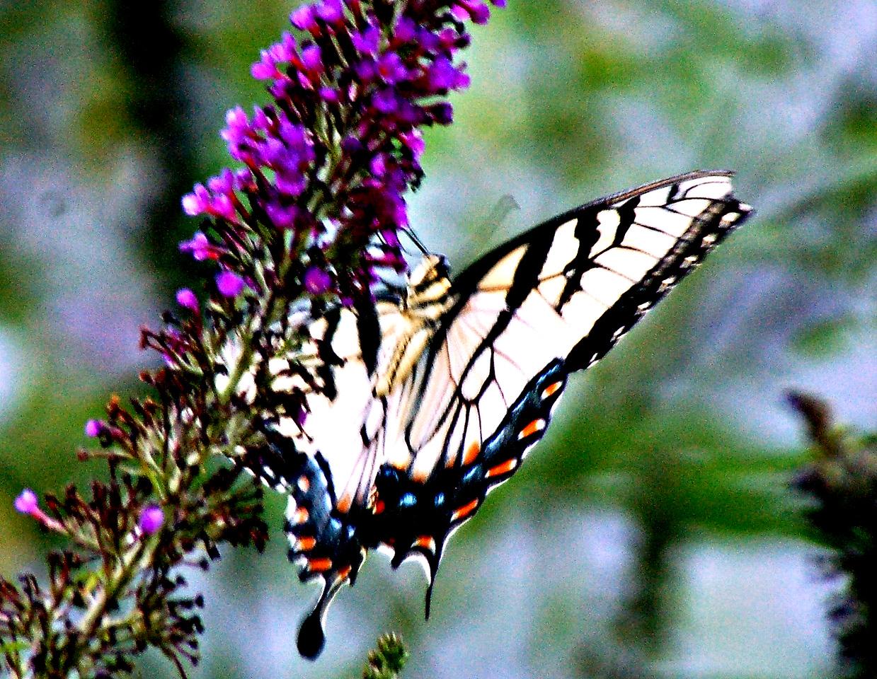 Backyard Butterfly 7-08-42