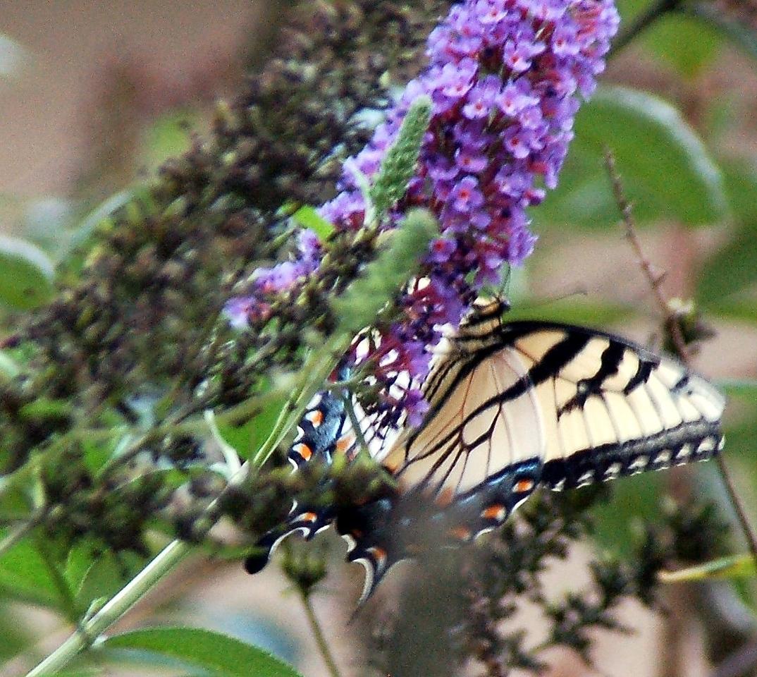 Backyard Butterfly 7-08-72
