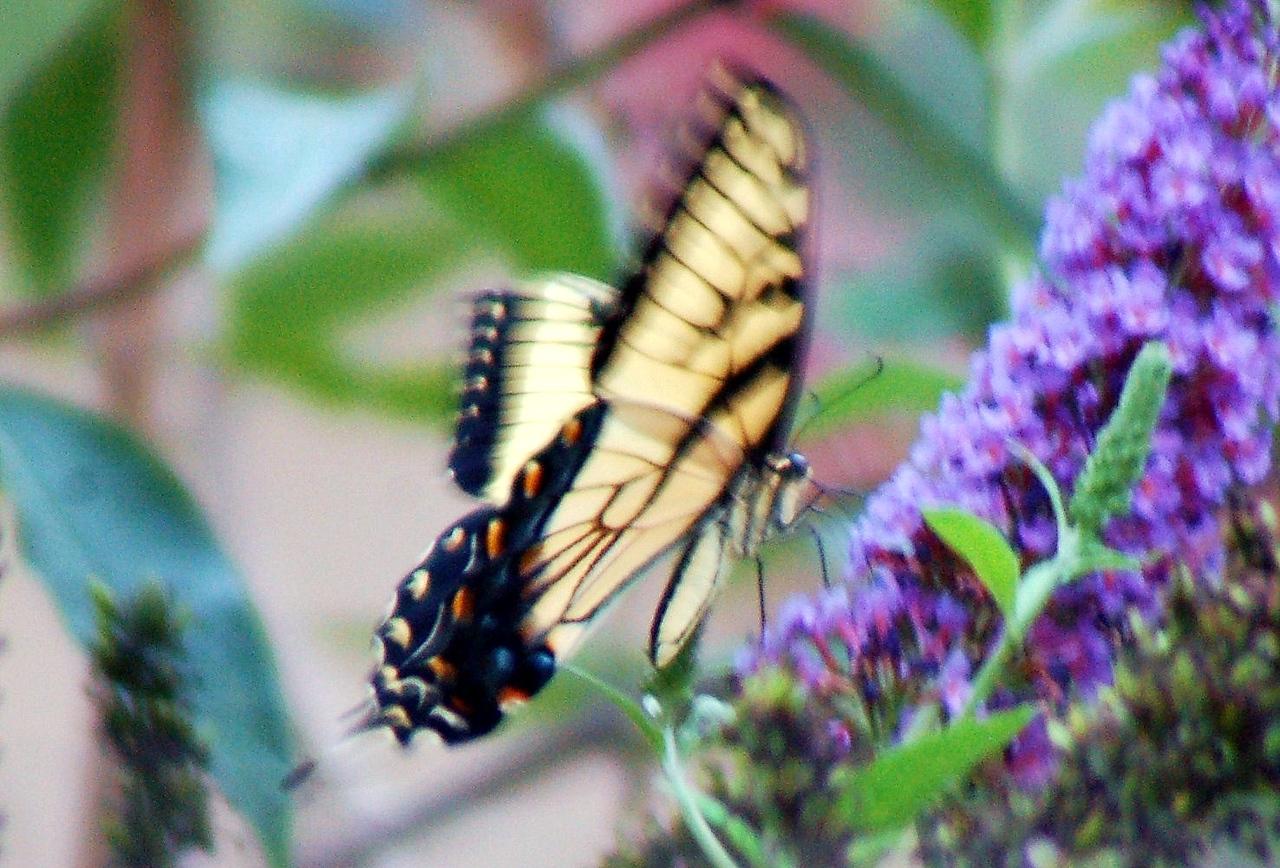 Backyard Butterfly 7-08-58