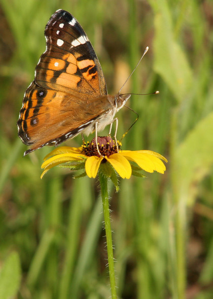 American Lady on Brown-eyed Susan<br /> College Station, TX<br /> All rights reserved<br /> For educational use only - this image, or derivative works, can not be used, published, distributed or sold without written permission of the owner.