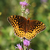Fritillary - August 2006 - Oak Openings Metropark