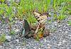 Butterflies on Poop
