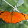 A Banded Orange Butterfly in the garden.