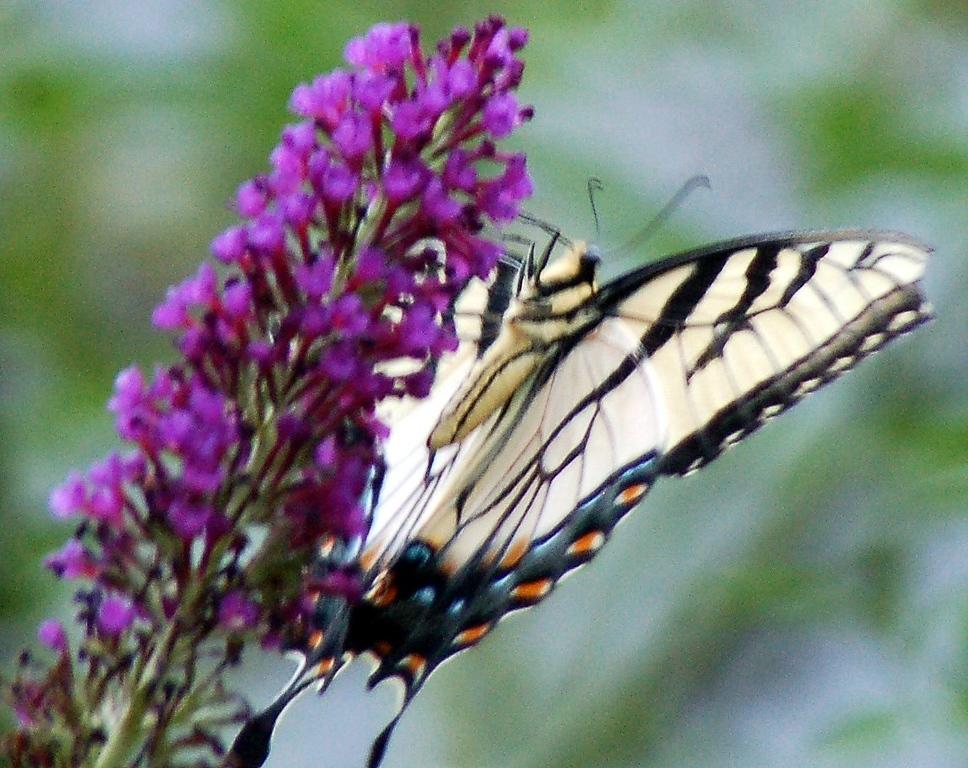 Backyard Butterfly 7-08-50