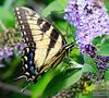 20130817_Butterflies_116