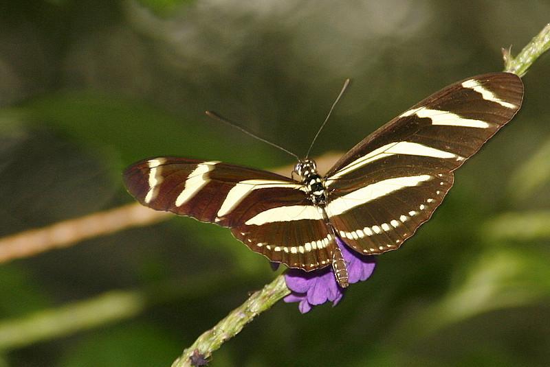 Zebra Longwing, Heliconius charitonius