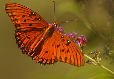 Gulf Fritillary, Turtle Bay, Redding CA