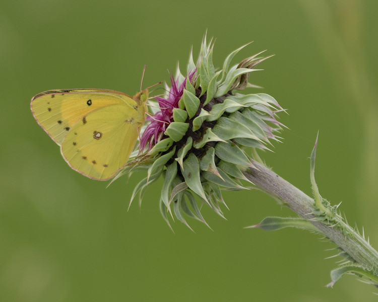Clouded Sulphur Butterfly on Flower (3)