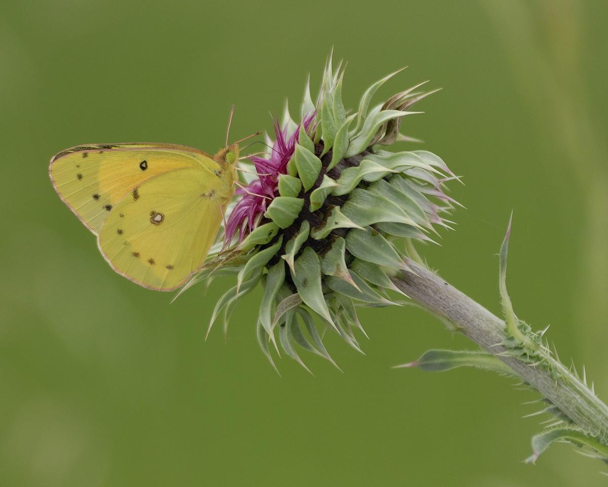 Clouded Sulphur Butterfly on Flower (3)