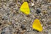 Butterflies5932