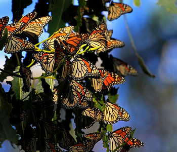 Monarchs ~ over-winter population