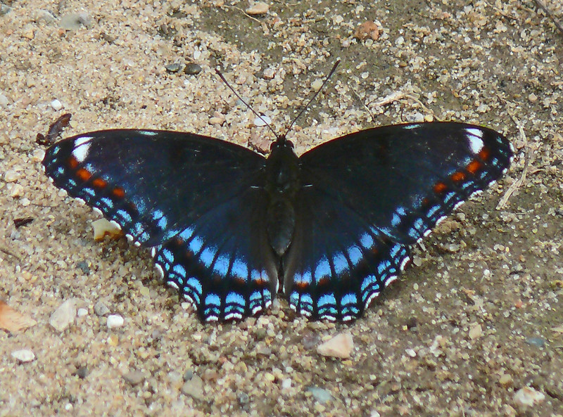 Red-spotted Purple Intergrade